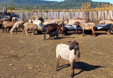 Buscan una solución a los ataques de perros y grandes felinos al ganado ovino y caprino